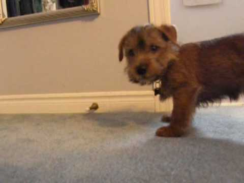 Norfolk Terrier Puppy Attacks Spring Door Stop