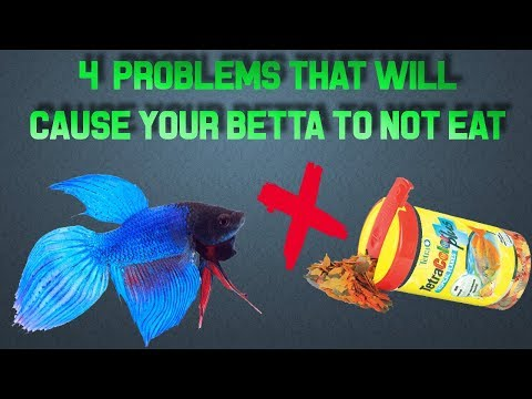 WHAT TO DO IF YOUR BETTA ISN'T EATING!
