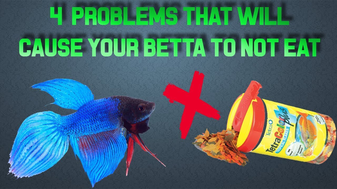 What To Do If Your Betta Isn T Eating Youtube