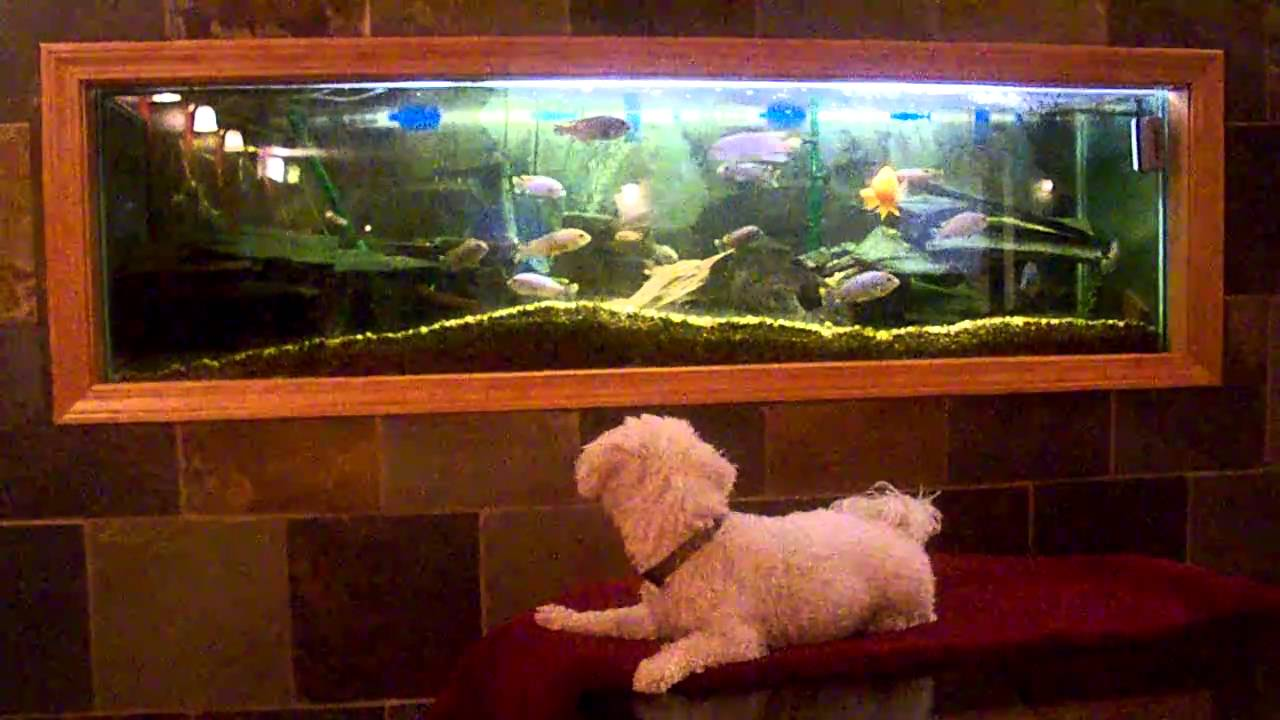 Aquarium drives this dog crazy fish tank youtube for Youtube fish tank