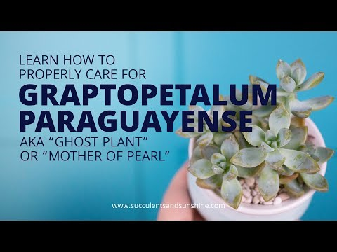 "learn-how-to-properly-care-for-graptopetalum-paraguayense-""ghost-plant"""