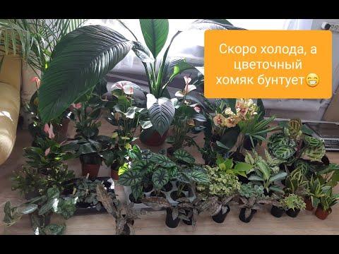 Вопрос: Стативус, что за цветок, растение?