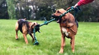 Bloodhound Dog Training / Extreme Trained And Disciplined Bloodhound Dog