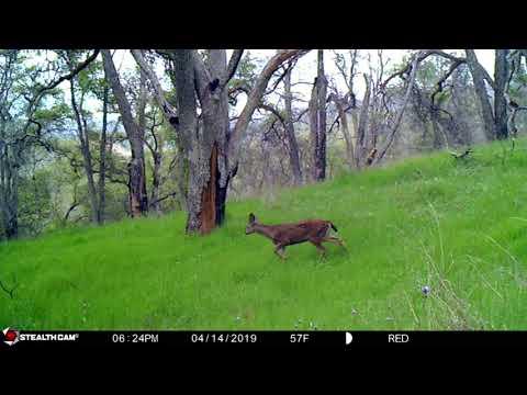 Tule Elk & Trail Camera