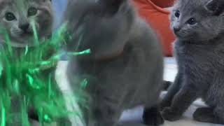 Продаются русские голубые котята! Русская голубая кошка! Котята!