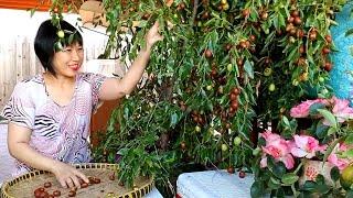 Chặt cây táo tàu để hái trái ( Người Việt ở Mỹ)