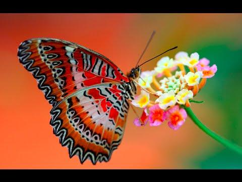 Kelebeğin hikayesini mutlaka dinlemelisiniz. letöltés