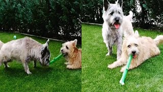 CAIRN TERRIERS ARE SMALL BUT MIGHTY