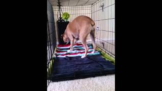 Boxer Dog Kennel Training Day 1