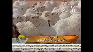 Chameau du golfe Arabe