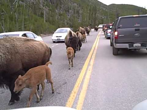 Buffalo walking past my RV in Yellowstone Natl Park