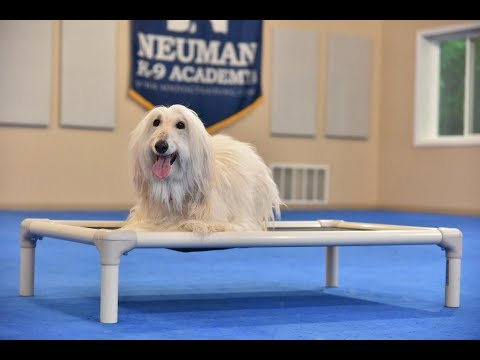 Paola (Afghan Hound) Boot Camp Dog Training Video Demonstration