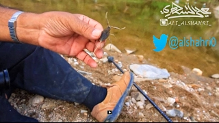 [عقرب الماء] إحدى نوادر الحشرات المائية،تعليق الأستاذ حميد الدوسري 3-12-1437