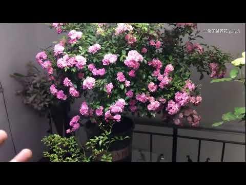 月季品种:小仙女,抗病勤花,适合嫁接树月季