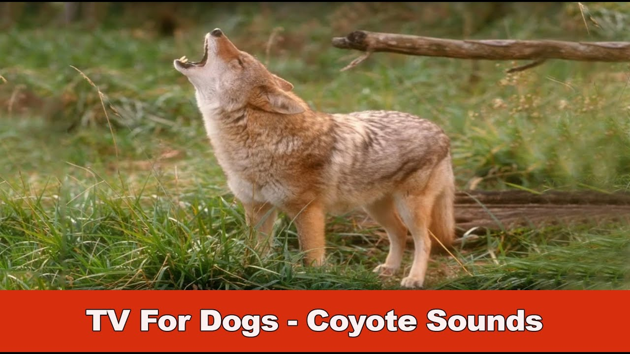 tv for dogs coyote sounds youtube. Black Bedroom Furniture Sets. Home Design Ideas
