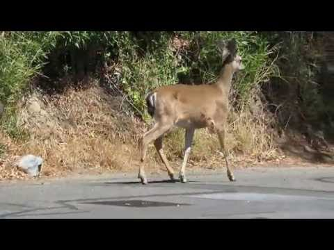 Deer crossing street in Belvedere, California