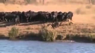 В мире животных - защита своего потомства! the most wild wild animals attack video ever seen