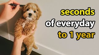 Puppy Growing 8 Weeks to 1 Year | Cavapoo