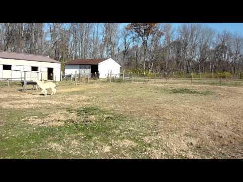 English shepherd herding alpacas