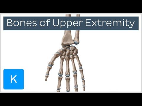 Bones of the upper extremity - Human Anatomy  Kenhub