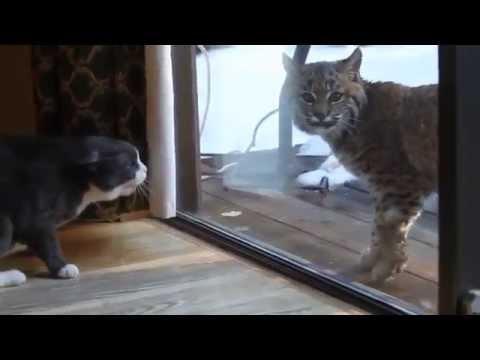 Видео коты злятся