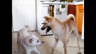2 year old Fionna (white) and puppy Cúchulainn (red) reunite after ...