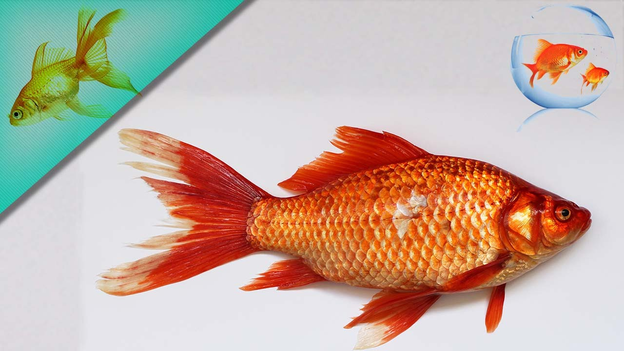 تعرفي الأسماك الذهبية  Maxresdefault