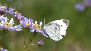 Small White on Aster モンシロチョウが野菊を訪花吸蜜
