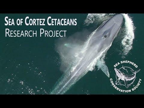 Sea of Cortez Cetaceans - Research Project