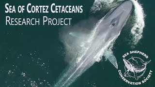 Sea of Cortez Cetaceans - Research Project