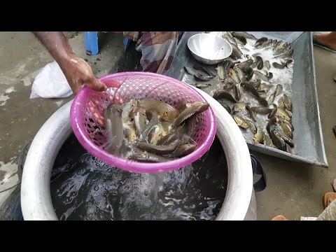 Incredible Rural Village Fish Market 2017 | Amazing Fresh Fish Available Village Market