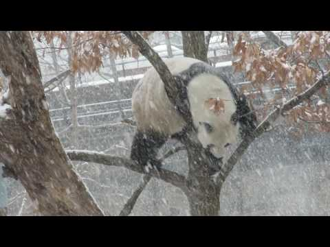 Tian Tian's Tree Moves on a Snowy Day