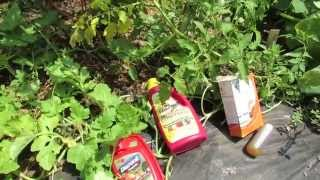 Four Ways to Manage Tomato Leaf Spot & Blight: Baking Soda, Neem, Serenade, Daconil