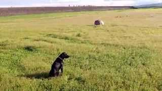 Retriever Training: Auto Sit & Line Manners Drill