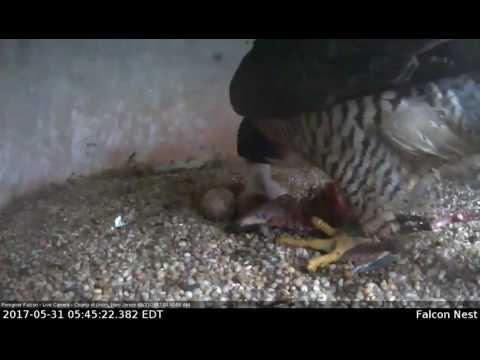 Peregrine Falcon Feeds Eyas-Union County Courthouse
