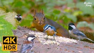 TV Para Gatos  8 horas  Ardillas, ardillas y pájaros en el bosque (4K HDR)