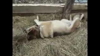 Собака любит запах сена ))))