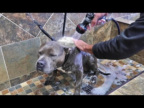 First Time Giving My Pitbull A Bath