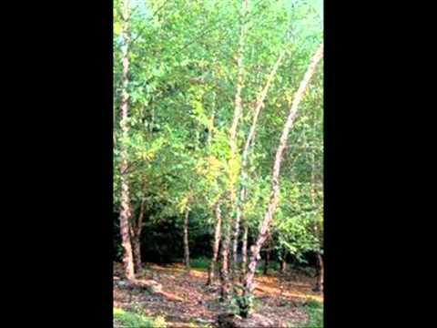 Yew-Birch-Red Bud.Jamison, PA Area Bucks County Landscaping: orserlandscaping.com