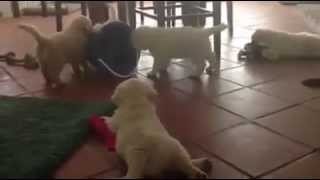 Puppy Playtime At Talini Golden Retrievers - Tucson, Az