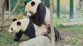 Caught on Camera: Two giant pandas mating at a Vienna zoo!