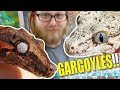 SURPRISE NEW LIZARDS!!!! GARGOYLE GECKOS!! | BRIAN BARCZYK
