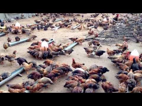 Trang trại gà lớn nhất khu vực Bảo Lộc 022014
