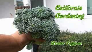 Harvesting Winter Vegetables - Broccoli, Savoy Cabbage & Kohlrabi