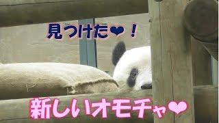 9/14シャンシャンに新しいオモチャ❤でもまだ遊ぶ気分じゃない…上野動物園【パンダ生活チャンネル】