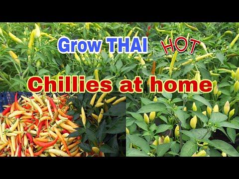 How to Grow Hot Thai Chillies in UK.ปลูกพริกกะเหรี่ยงในอังกฤษดกๆ
