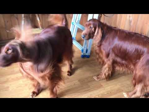 Irish setter which became beautiful after being trimmed