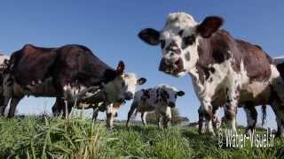 Vaches Normandes en pâture sur une association ray grass et trèfle
