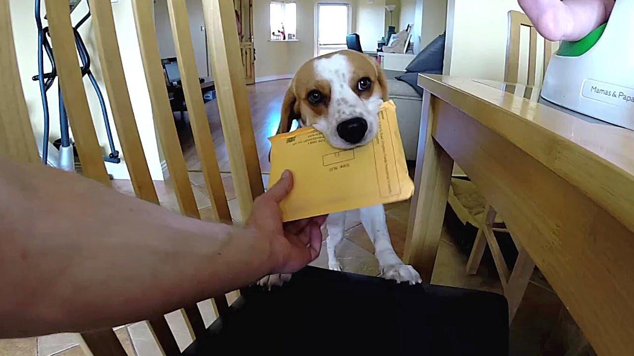 Good Smart Beagle Adorable Dog - maxresdefault  Best Photo Reference_925716  .jpg