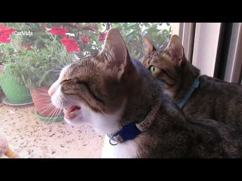 Cats meowing at birds